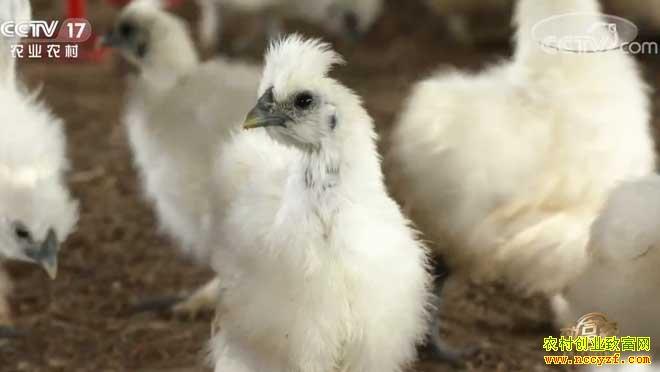 [致富经]江西泰和梁景湛养殖泰和乌鸡巧破困局