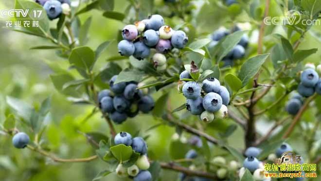 [致富经]山东青岛付宏存种蓝莓赚钱有新招