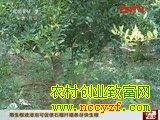 石榴优良品种的选育-生根液浸泡可促使石榴扦插条快生根