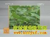 火鹤花温室盆栽技术视频