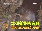 锥栗种植技术视频