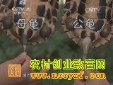 [农广天地养龟]黄喉拟水龟养殖技术视频
