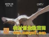 [农广天地养蚕]桑蚕养殖视频
