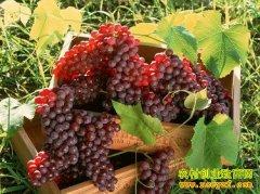 [每日农经]长得像龙眼的葡萄赚钱多