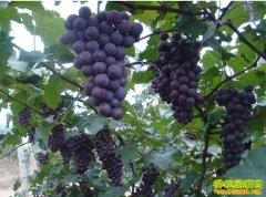 [每日农经]大个儿的葡萄卖得俏