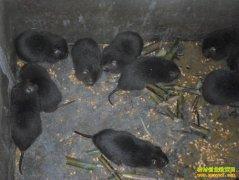 [农广天地]竹鼠养殖技术视频
