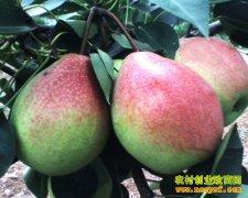 [每日农经]更新品种 外来的梨红香酥