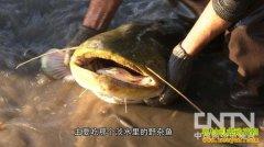 [聚焦三农]鲶鱼到底脏不脏,能不能吃?
