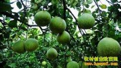 [每日农经]三斤个头 海南青柚身价高