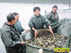 台湾泥鳅的冬天来了吗(台湾泥鳅养殖前景分析)