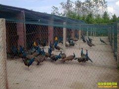 特禽养殖调查:毛利率逾百分百 无奈销路打不开
