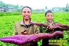 [每日农经]横向生长 紫色山药卖相不一般