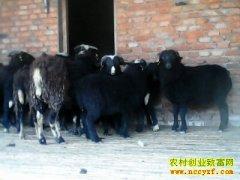 [生财有道]张丰文赚钱就靠养殖乌骨羊(上集)