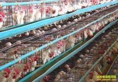 蛋鸡养殖成本和利润预算