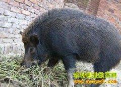 养殖致富榜样:看准市场 驯养野猪