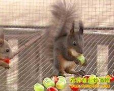 [生财有道]养殖松鼠带来的大财富