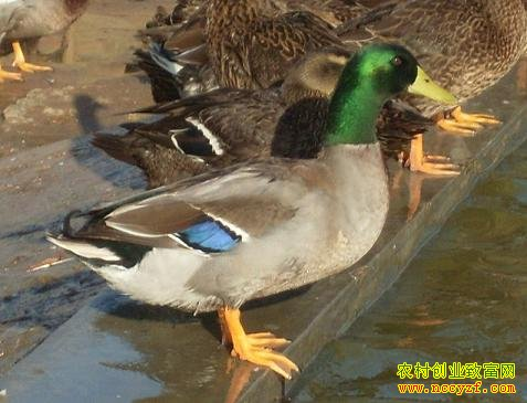[每日农经]飞起来的野鸭