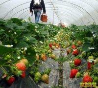 大棚草莓种植效益分析