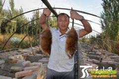 新疆和静县农民养殖麝香鼠年收入近30万元