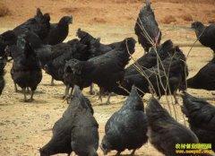 [每日农经]深入竹林的赤水乌骨鸡卖的就是特色