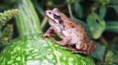 什么菜地适合养林蛙:大叶无刺蔬菜地适合养林蛙