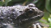 石蛙也能人工养殖:野性十足的石蛙