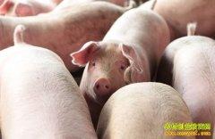 [科技苑]住在高床上的猪效益高