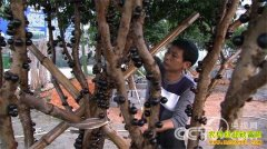 [致富经]怪树干上长葡萄变身摇钱树