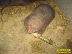 [生财有道]贵州雷山石华文养竹鼠带来的财富