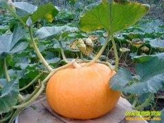 [每日农经]百斤重的南瓜巧卖钱