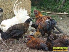[科技苑]段崇武养他留乌骨鸡就要让鸡去撒野