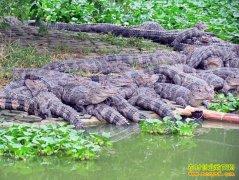 [科技苑]鳄鱼养殖大体验(2)怎样养鳄鱼