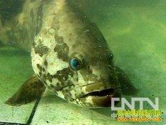 [生财有道]洪宜展养殖石斑鱼来赚钱