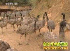[生财有道]浑身都生财的鸵鸟:刘福辰养鸵鸟创业致富