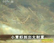 [生财有道]杭勇养殖小青虾创出大财富