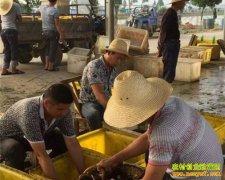 湖北仙桃易卫祥养殖黄鳝带领农民致富