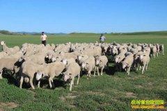 [生财有道]内蒙古赤峰姚秀果养殖昭乌达肉羊好赚钱