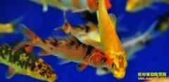 水产养殖项目:养殖外来观赏鱼商机无限
