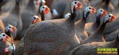 [生财有道]冯全忠养殖草原生态鸡带来的效益