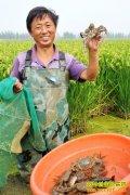 """水稻田里""""种""""螃蟹效益高"""