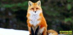 山东平度:养狐狸取毛富农家
