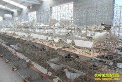 今年养鸽子赚钱吗:鸽子价格上涨明显 养鸽效益升温