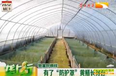 农村致富项目:大棚养黄鳝长得好效益高