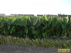 [生成有道]种植加工靖江香沙芋的生财之道