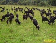 [生财有道]湖南沅江唐武养殖黑山羊带来的财富
