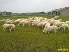 [生财有道]浙江湖州费明峰咩咩叫的湖羊养殖财富