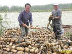 [生财有道]亩产过万元的种藕达人潘裴