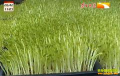 种植致富项目:芽苗菜种得好卖得俏