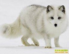 养殖毛皮动物赚钱吗:皮草行情及毛皮动物养殖前景分析