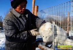 [每日农经]养殖北极狐越冷越赚钱